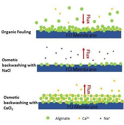 Mechanisms Involved in Osmotic Backwashing of Fouled Forward Osmosis (FO) Membranes